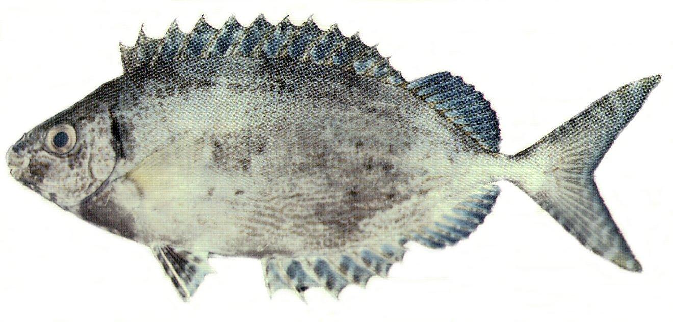 Forktail rabbitfish for The fish fm