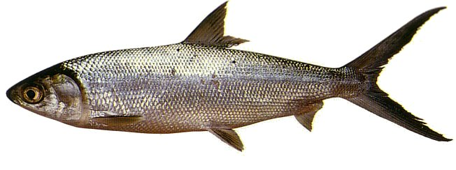 Milkfish for The fish fm