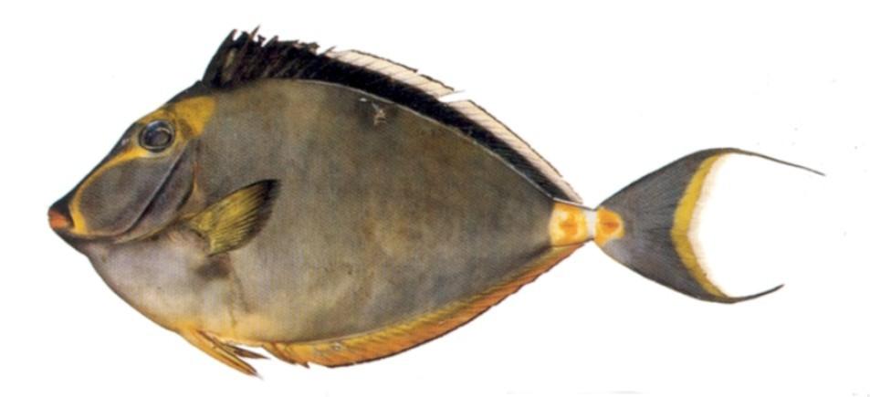 Orangespine unicornfish for The fish fm