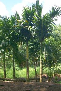 Areca catechu - Real areca palm ...